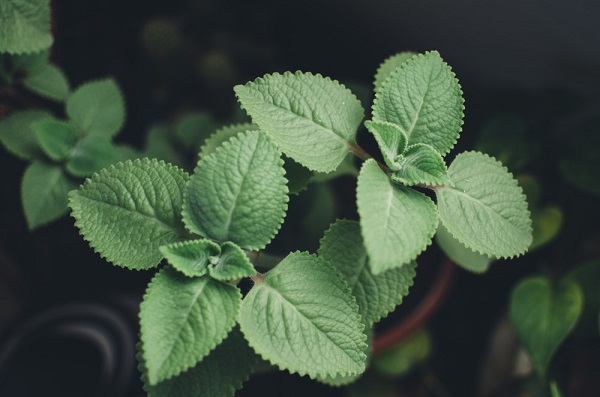 Lemon Balm Herb Garden
