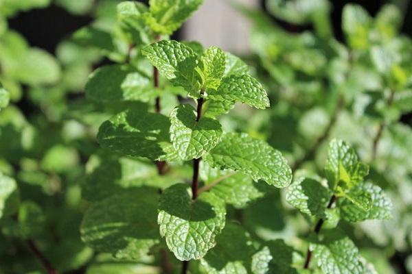 Peppermint Herb Garden