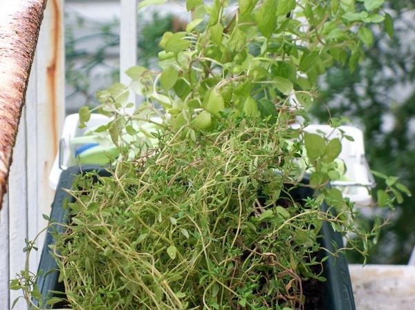 Thyme Herb Garden