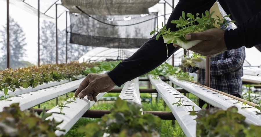 hydroponic cultivation