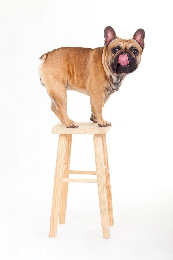 dog on stool